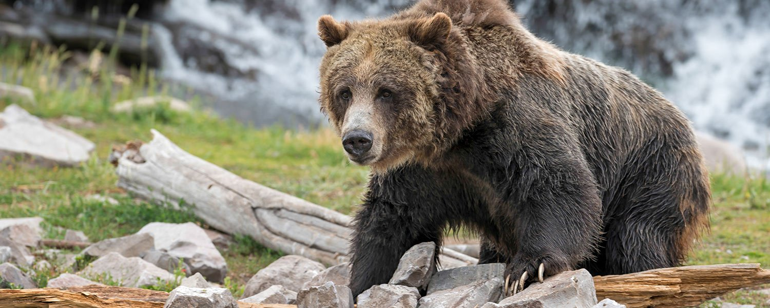 Grizzly Bear discovery center West Yellowstone
